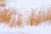 foto of groundwater  - Bulrush and sedge growing on the river shore background - JPG