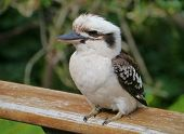 picture of carnivores  - The Laughing Kookaburra  - JPG