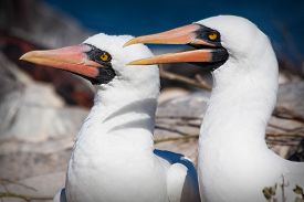 picture of boobies  - Closeup portrait of two masked boobies in the Galapagos Islands - JPG