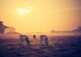 image of farm landscape  - Beautiful morning landscape of pasture with cows - JPG