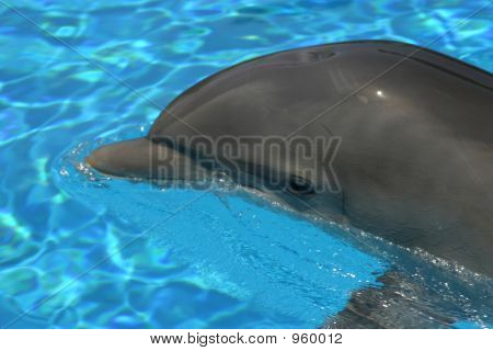 Tranquil Dolphin