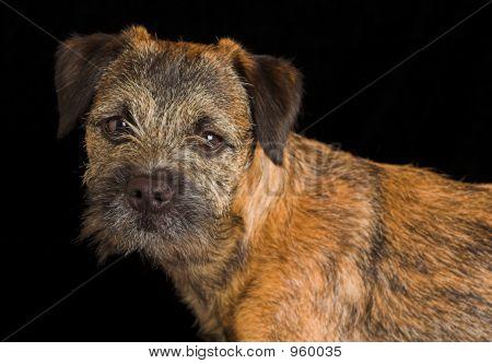 Border Terrier Puppy