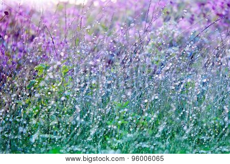 Wet Grass With Dew Drops On Summer  Blossoming Meadow