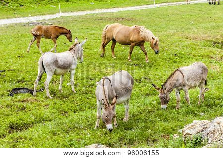 donkeys and horses, Piedmont, Italy