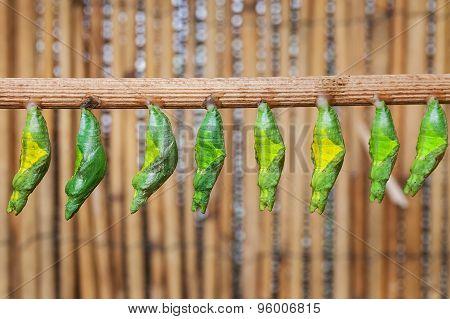 Monacrch batterfly chrysalis