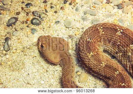 Dangerous Rattle Snake.