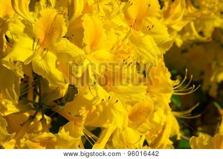 Blooming rhododendron flowers in a garden