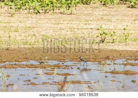 lapwing on sunflower field
