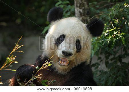 Giant panda (Ailuropoda melanoleuca) eating bamboo. Wild life animal.