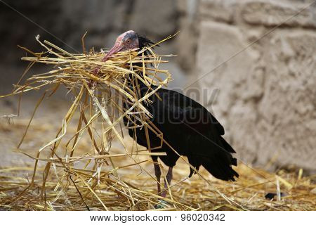 Northern bald ibis (Geronticus eremita), also known as the hermit ibis collect straw to build a nest. Wild life animal.