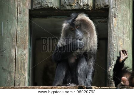 Lion-tailed macaque (Macaca silenus), also known as the wanderoo. Wildlife animal.