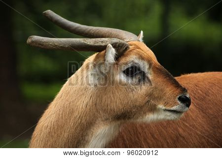 Kafue lechew (Kobus leche kafuensis), also known as the Kafue Flats lechwe. Wildlife animal.