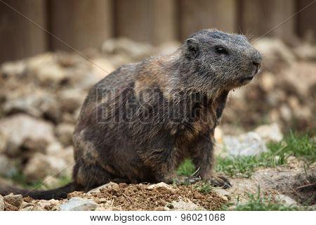 Alpine marmot (Marmota marmota). Wild life animal.