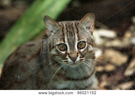 Rusty-spotted cat (Prionailurus rubiginosus). Wild life animal.