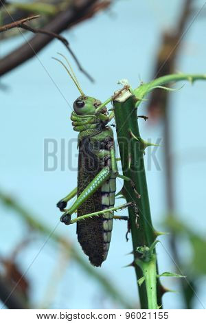 Giant grasshopper (Tropidacris collaris). Wild life animal.