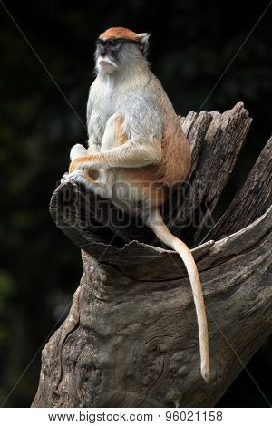 Patas monkey (Erythrocebus patas), also known as the hussar monkey. Wild life animal.