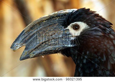 Trumpeter hornbill (Bycanistes bucinator). Wildlife animal.