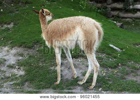Vicuna (Vicugna vicugna), also spelled as the vicugna. Wild life animal.