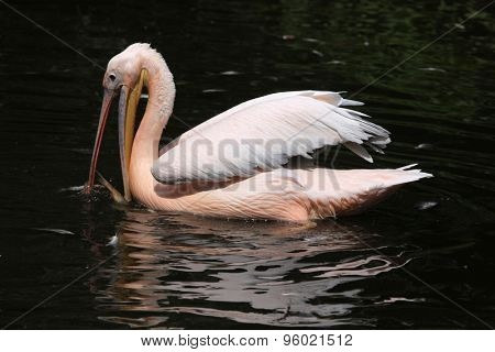 Great white pelican (Pelecanus onocrotalus), also known as the rosy pelican catching fish. Wildlife animal.