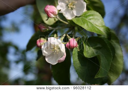 Branch Of A Blossoming Apple Tree On Garden Background