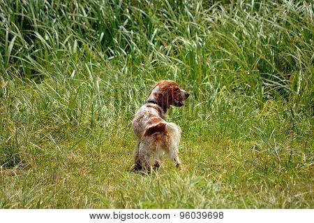 Spaniel  hunting