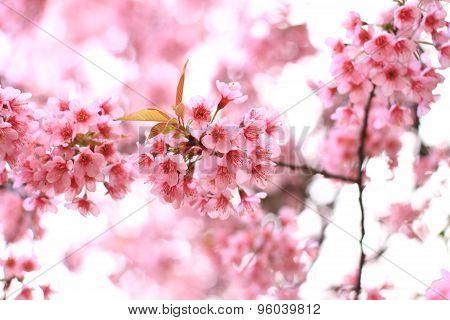 Pink sakura blossoms