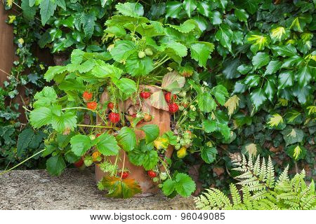 Ripe strawberries in a terracotta pot.