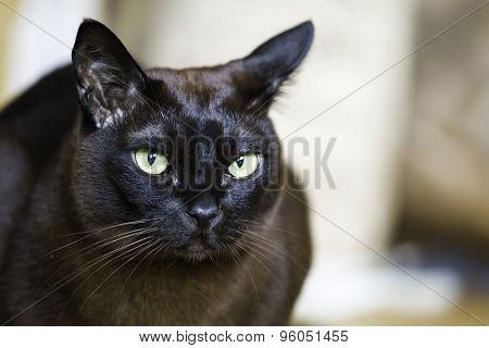 Closeup Of A Brown Burmese Male Cat