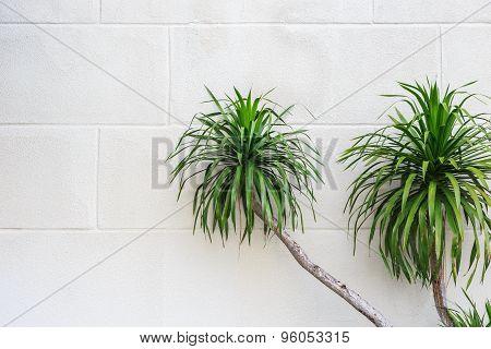 Green Dracaena Plant On White White Cement Wall