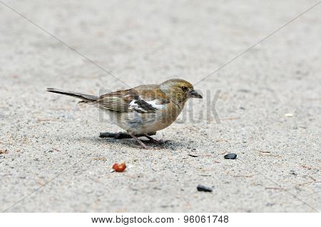 Finch pecks sunflower seeds. Female. Chaffinch.
