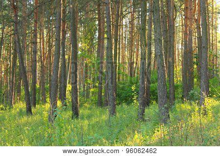 Morning sun light in pine forest.