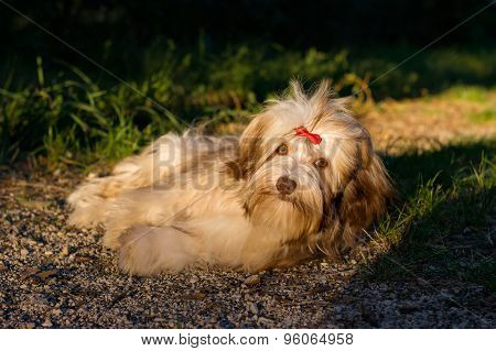 Beautiful Chocolate Havanese Dog Is Resting On A Forest Path