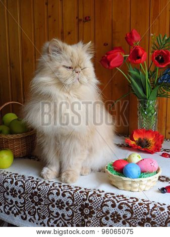 Portrait of an adult Persian cat sitting on the kitchen table with flowers and a basket of Easter eg