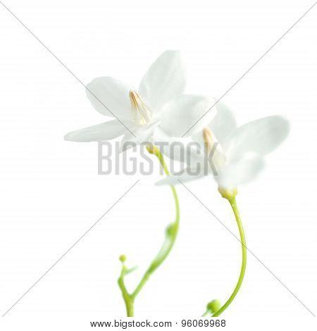 Tropical Fragrant Flower