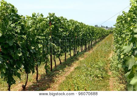 Neat Rows Of Trellised Vines In A Vineyard