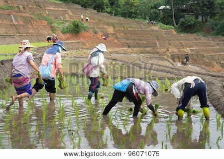 Farmers Planting Rice In Terrace Rice Field