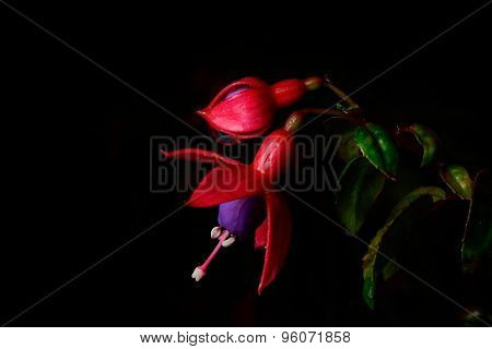 Beautiful Pink Flower (fuchsia) Isolate On Black Background