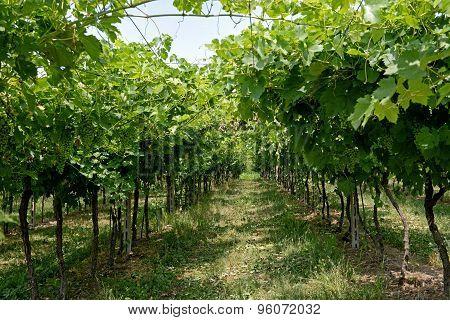 Rows Of Trellised Vines