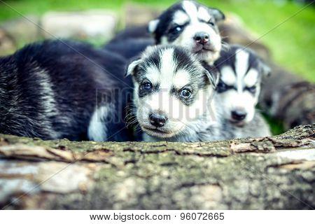 Pretty Little Husky Puppies Outdoor In The Garden