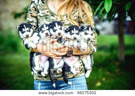 Pretty Little Husky Puppy Outdoor In Womans Hands