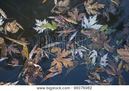 Autumn Leaves Afloat