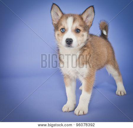 Pomsky Puppy