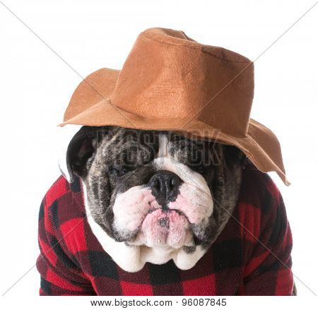 country dog - dog humanized with western hat and sweater - bulldog