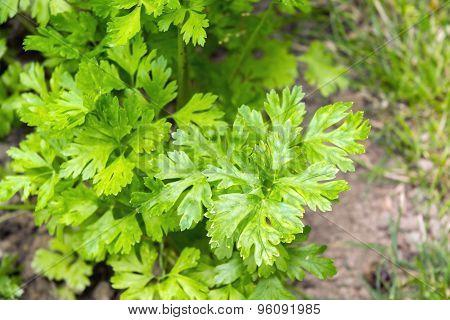Garden Parsley (petroselinum Crispum)