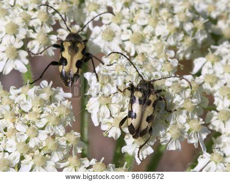Judolia Instabilis Flower Beetles