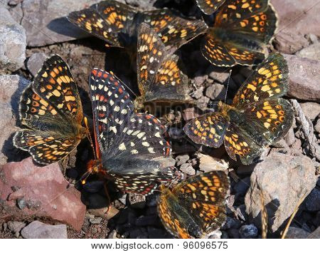 Field Crescents and Checkerspot Puddling