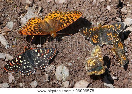 Checkerspot, Fritillary, and Field Crescent Butterflies