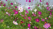 picture of cosmos flowers  - Beautiful Cosmos flowers - JPG
