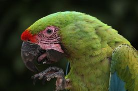 picture of jungle animal  - Great green macaw  - JPG
