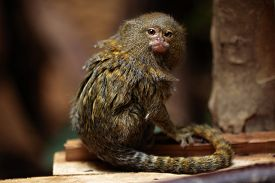 pic of marmosets  - Pygmy marmoset  - JPG